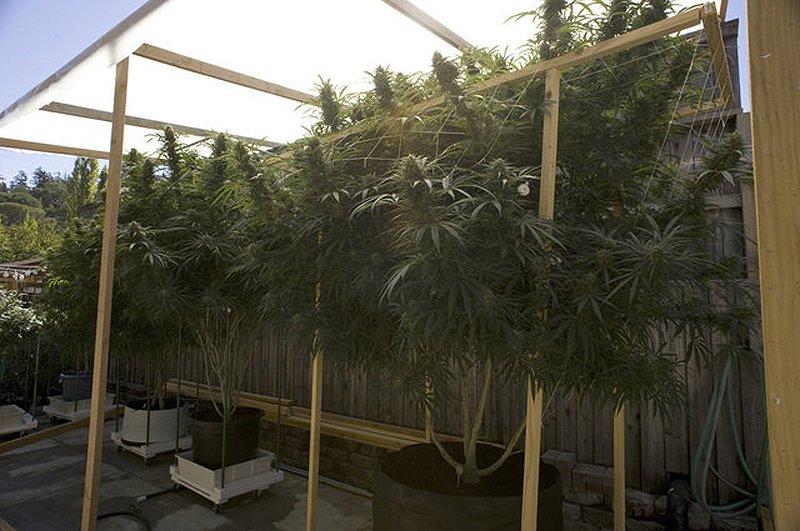 Списание Ю отразява Отглеждане на марихуана - Туториал